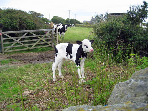 Day-old calf at Rhoscolyn1